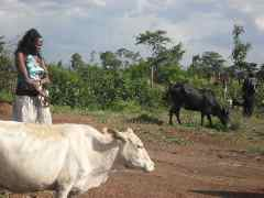 Cow for the village